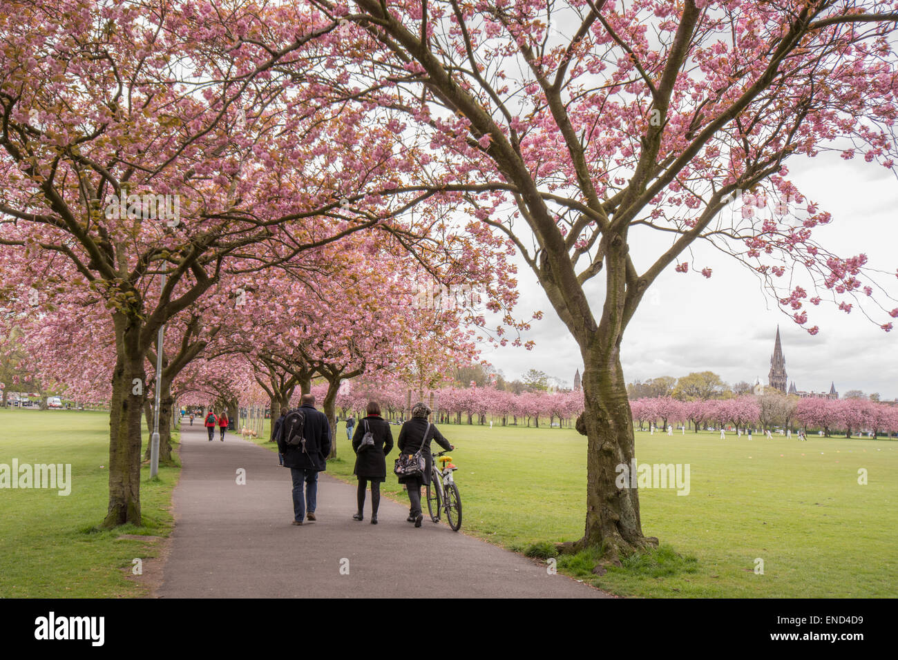 People walking through The Meadows public park in Edinburgh beneath cherry blossom trees in spring during cricket - Stock Image
