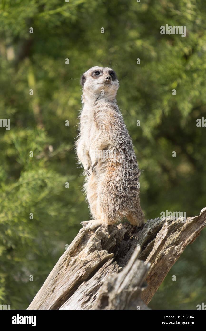 An alert Meerkat, Suricata suricatta stood atop a log keeping watch for predators - Stock Image