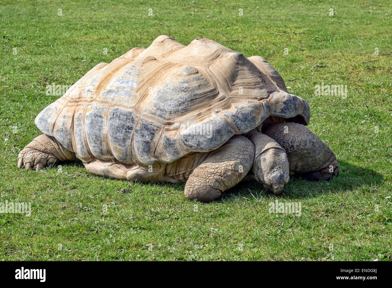 A Aldabra Giant Tortoise (geochelone gigantea) from a small atol in the Seyshelles - Stock Image