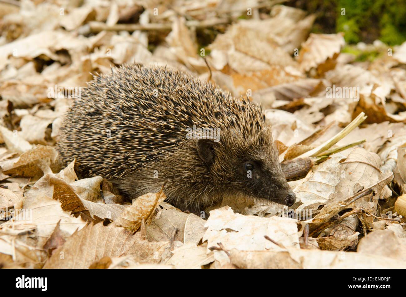 European Hedgehog, Erinaceus europaeus. Sussex, UK. May. - Stock Image