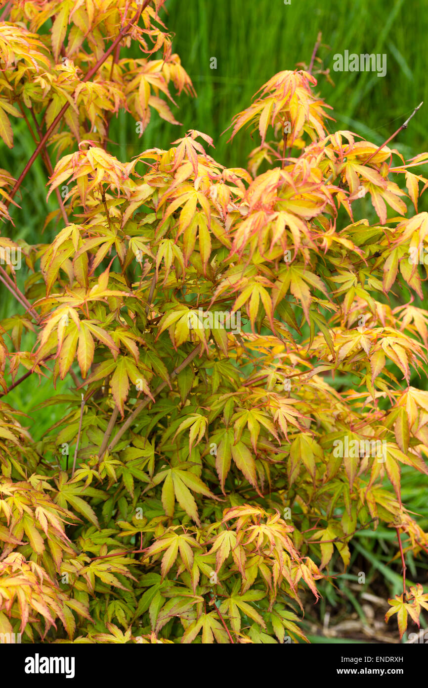 fresh spring foliage of the japanese maple acer palmatum. Black Bedroom Furniture Sets. Home Design Ideas