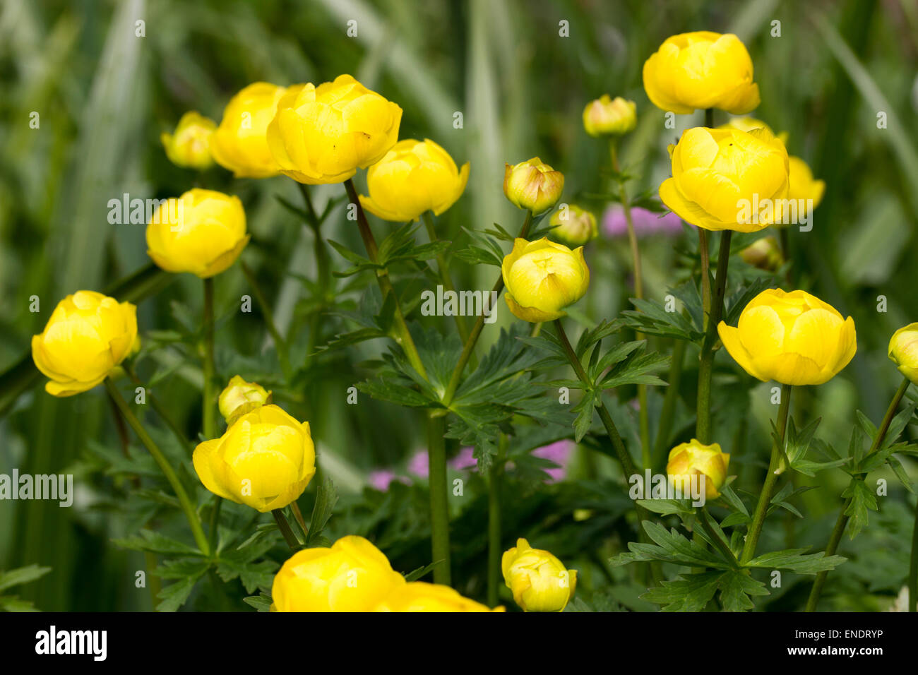 Yellow globe flowers of the spring flowering uk native trollius yellow globe flowers of the spring flowering uk native trollius europaeus mightylinksfo