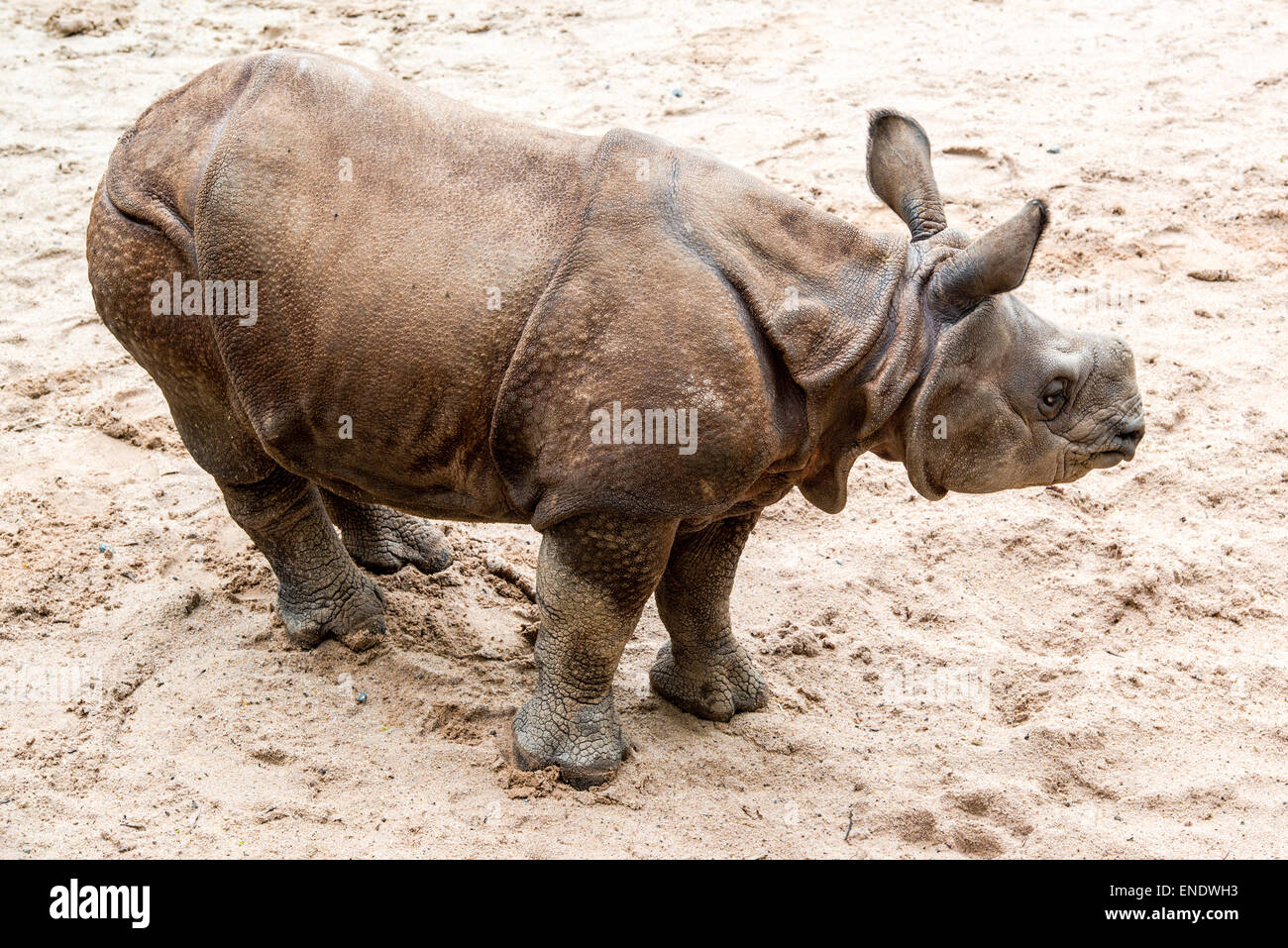Young Indian one-horned rhinoceros (6 months old) - Stock Image
