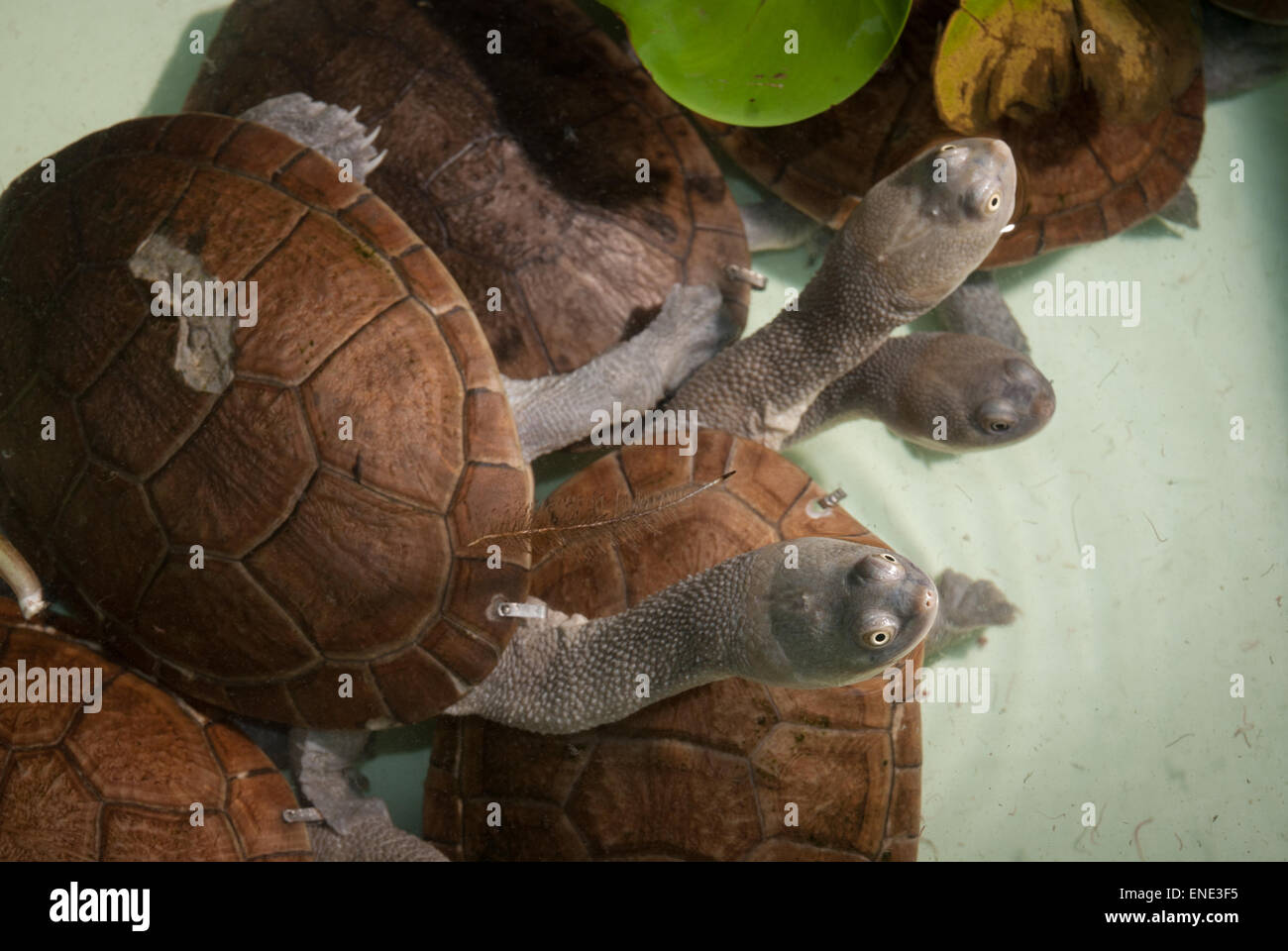 Snake-necked turtles, Chelodina mccordi), near-extinct endemic freshwater species from Rote Island, at licensed - Stock Image