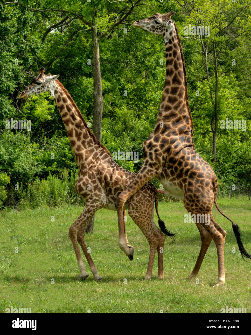Adolescent giraffes learning how to mate at the Nashville ...  Adolescent gira...
