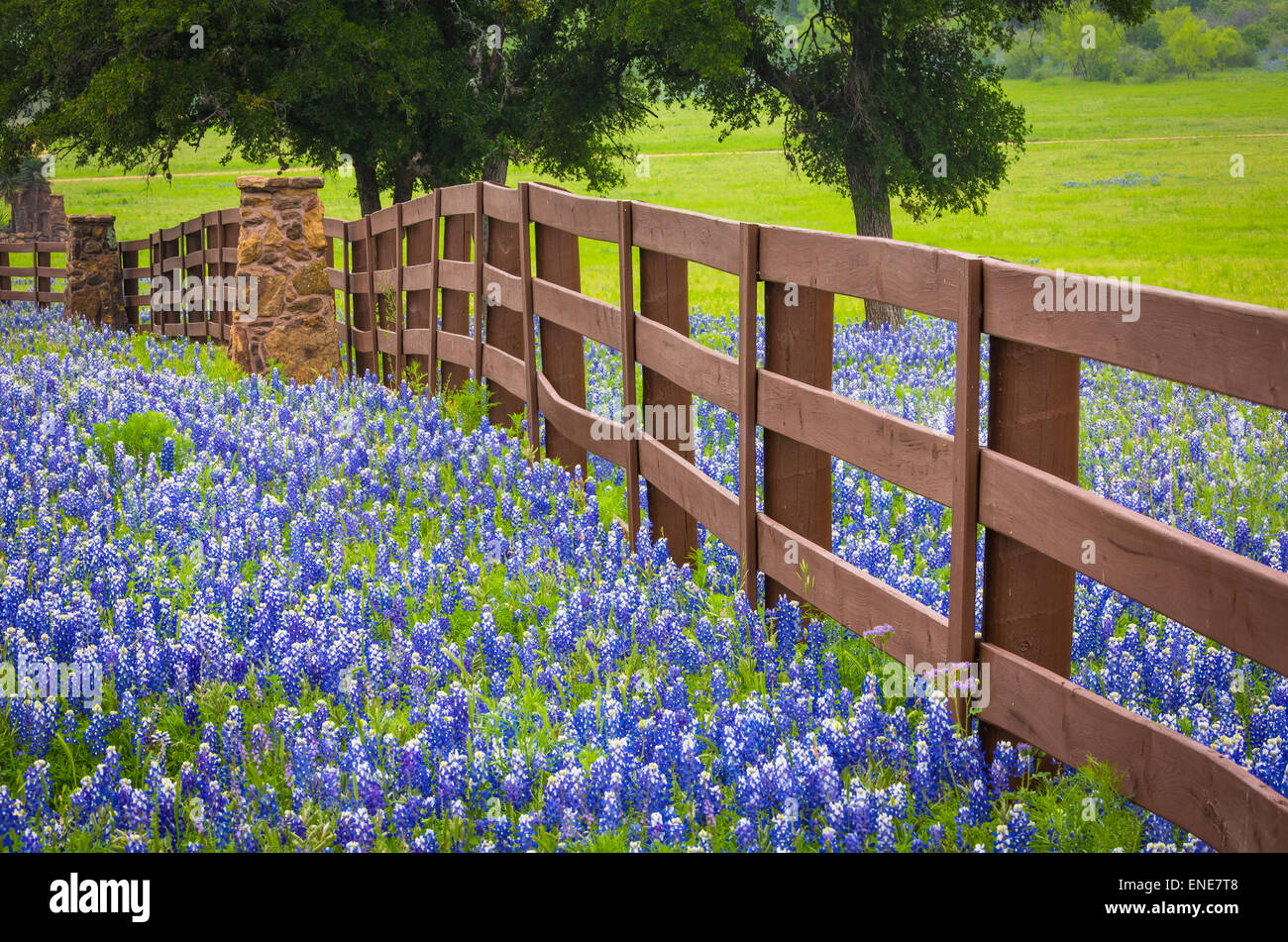 Ranch fence in the Texas Hill Country, surrounded by bluebonnets - Stock Image
