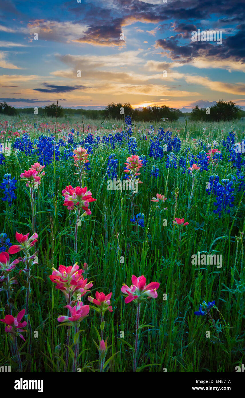 Texas paintbrush and bluebonnets in Ennis, Texas. - Stock Image