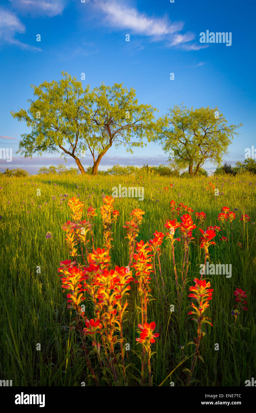 Texas paintbrush and trees in Ennis, Texas. - Stock Image