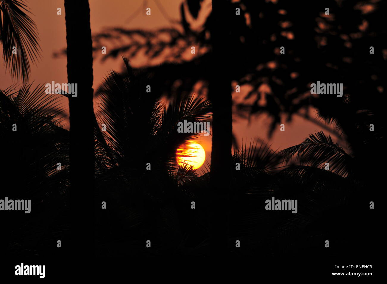 Rising sun through coconut leaves. - Stock Image