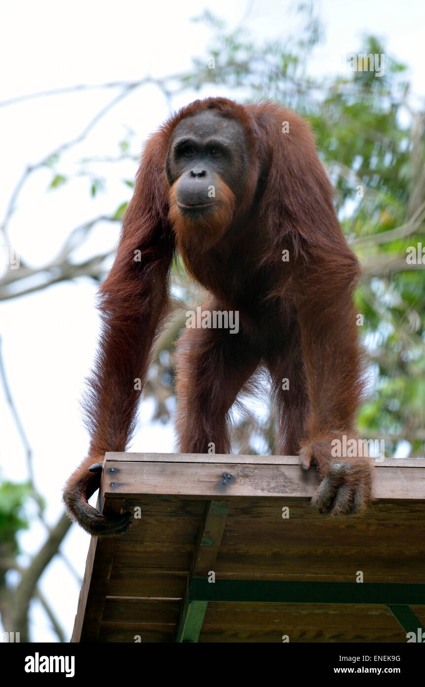 Stock image of a orangutan Stock Photo