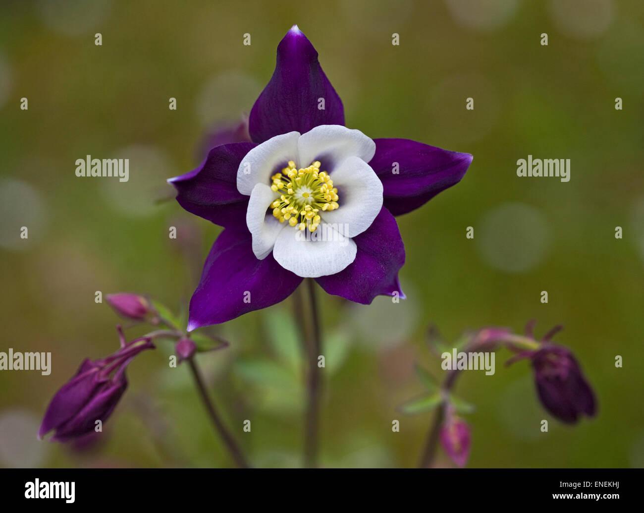 Columbine flower purple colorado stock photos columbine flower aquilegia colorado stock image izmirmasajfo