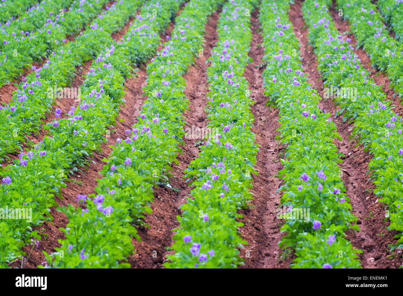 Rows of lush green potato plants with purple flowers near Concepcion, Peru - Stock Image