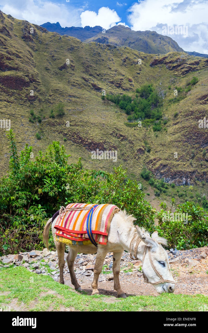 Donkey grazing in the Cordillera Blanca, part of the Andes mountains in central Peru - Stock Image