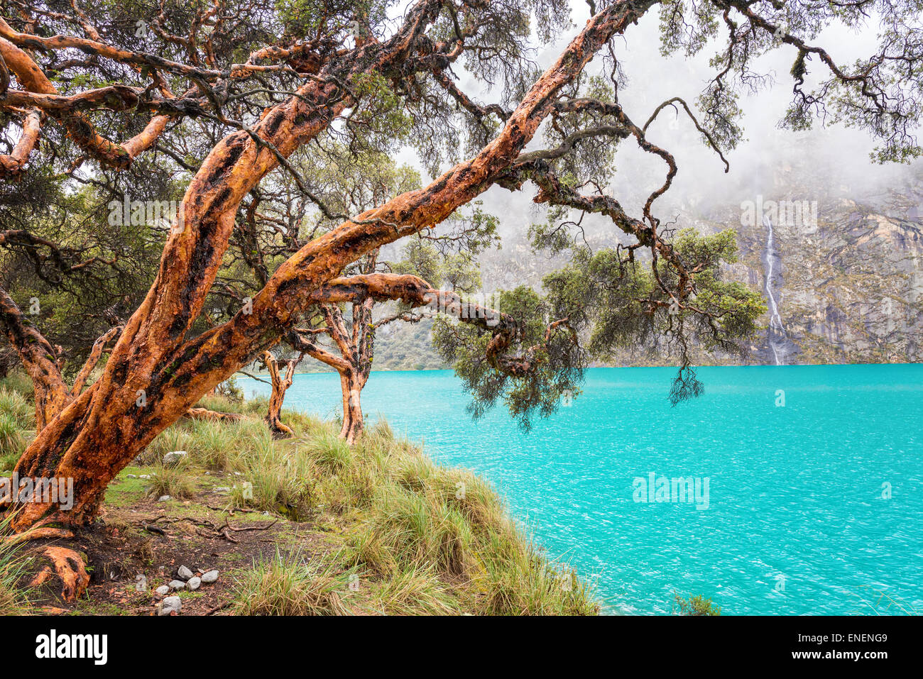 Blue lake and quenua tree in the Cordillera Blanca near Huaraz, Peru - Stock Image