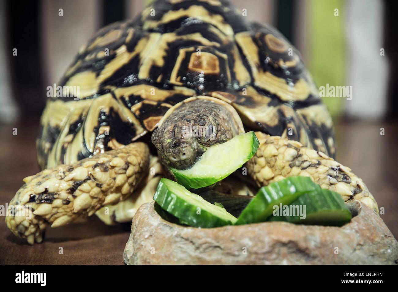 Leopard tortoise (Geochelone pardalis) is feeding. Animal theme. - Stock Image
