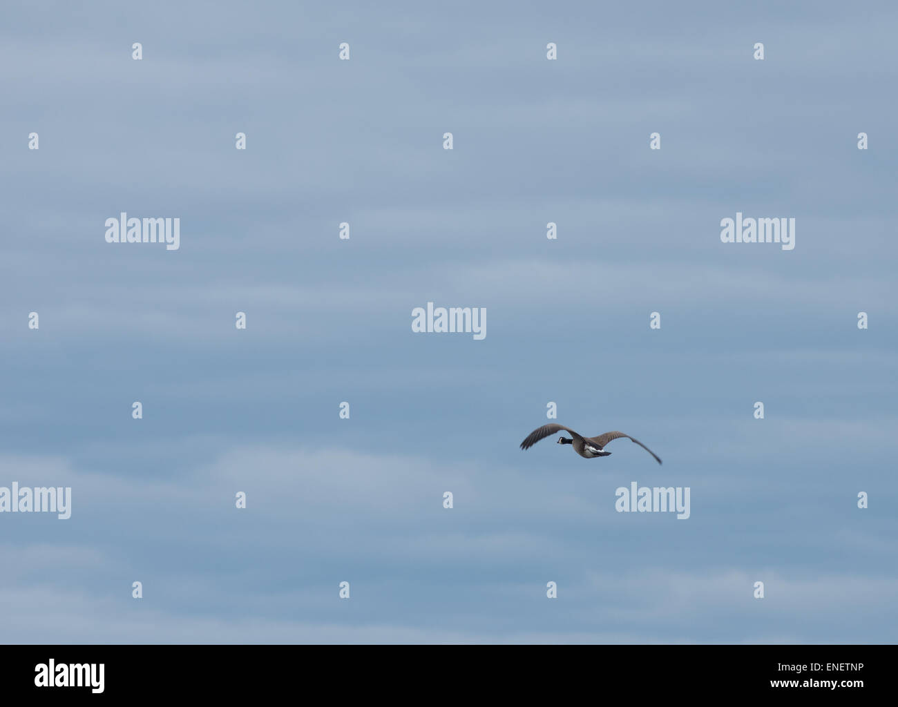 Lone Canadian goose against a cloudy sky - Stock Image