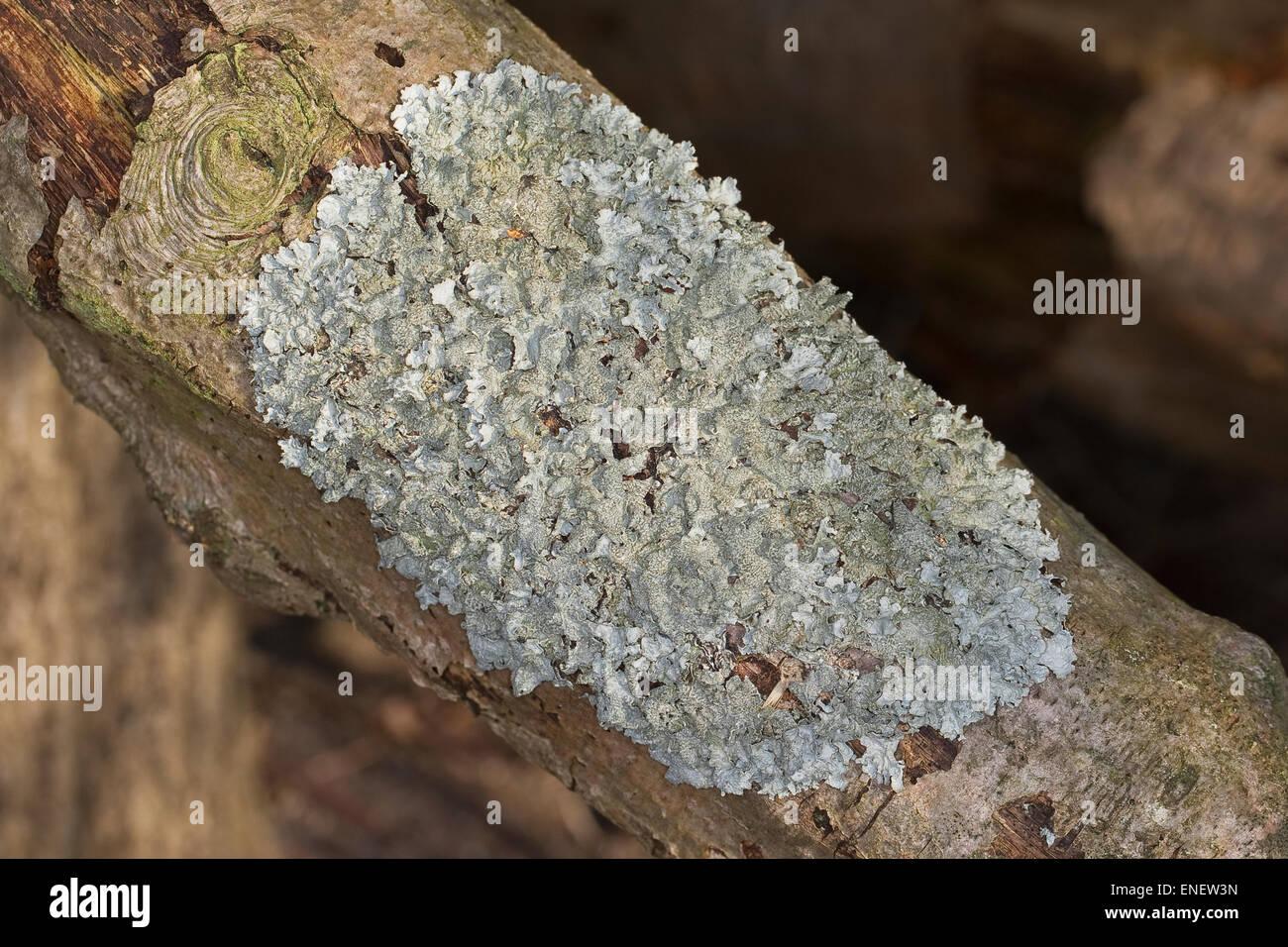 Shield Lichen, Felsen-Schüsselflechte, Fels-Schüsselflechte, Steinmoos, Schüssel-Flechte, Blattflechte, - Stock Image