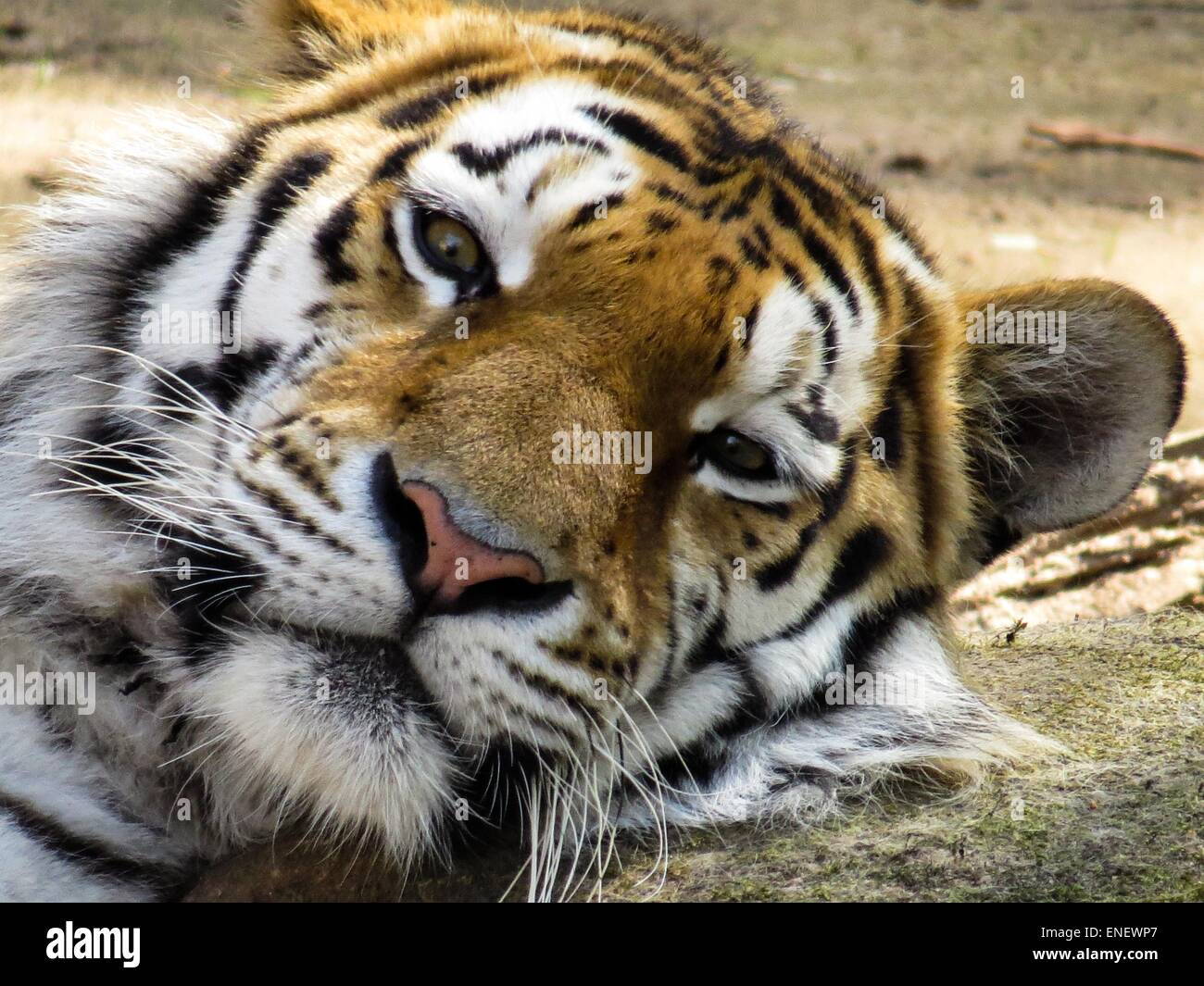 close up of a tigers face stock photo 82076799 alamy