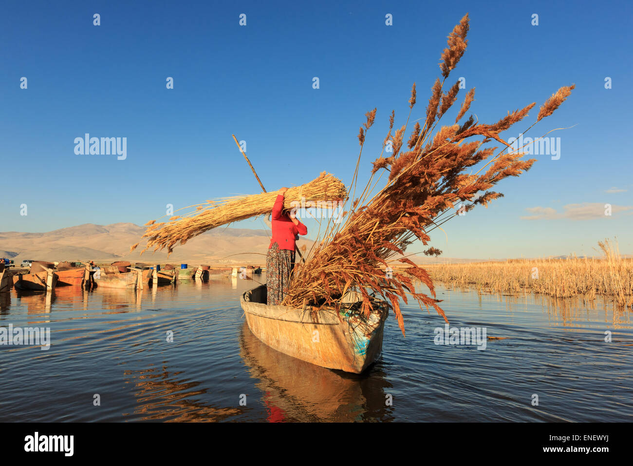 AFYONKARAHISAR,TURKEY - November 9,2013 : Unidentified workers harvest reeds and bulrush from the Lake Eber in Afyon,Turkey - Stock Image