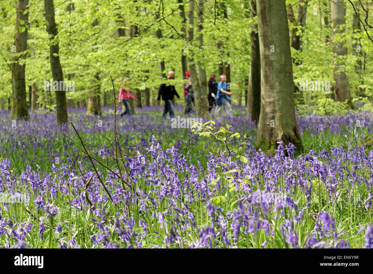 Ashridge Estate, Hertfordshire, England, UK. 4th May 2015. A family enjoy the vibrant colour of bluebells and beech - Stock Image