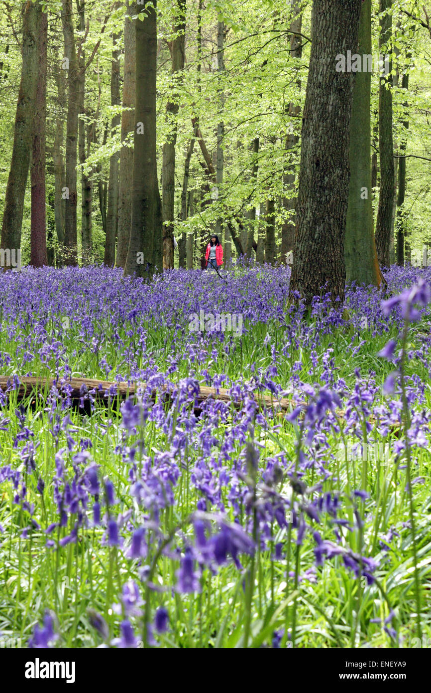 Ashridge Estate, Hertfordshire, England, UK. 4th May 2015. A lady enjoys the vibrant colour of bluebells and beech - Stock Image