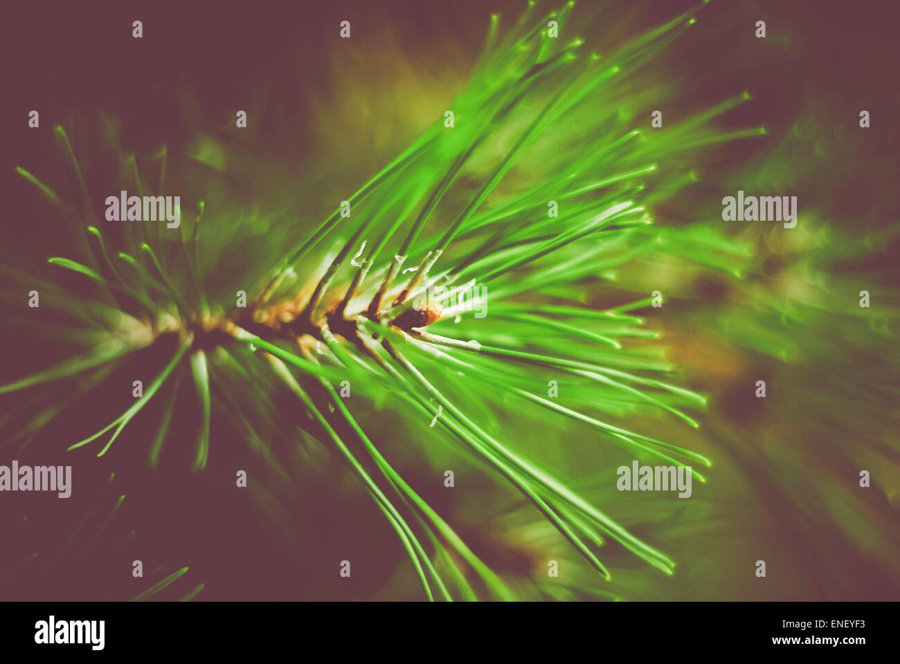 green conifer needle glow - dark soft and soft background - Stock Image