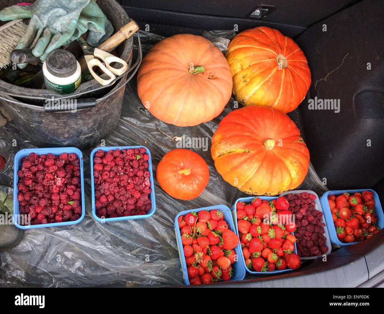 Fruit and pumpkins in car boot harvested from allotment in autumn Stock Photo