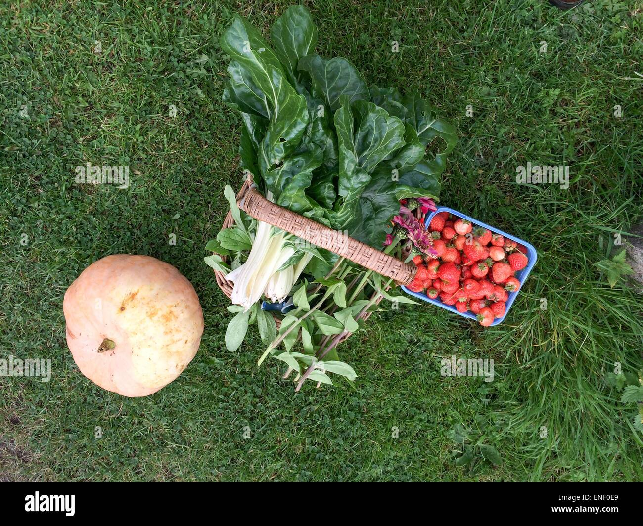 Pumpkins harvested from allotment in autumn - Stock Image