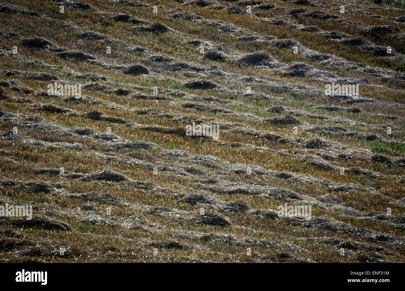 Hay Drying in Tuscany West Central Italy. - Stock Image