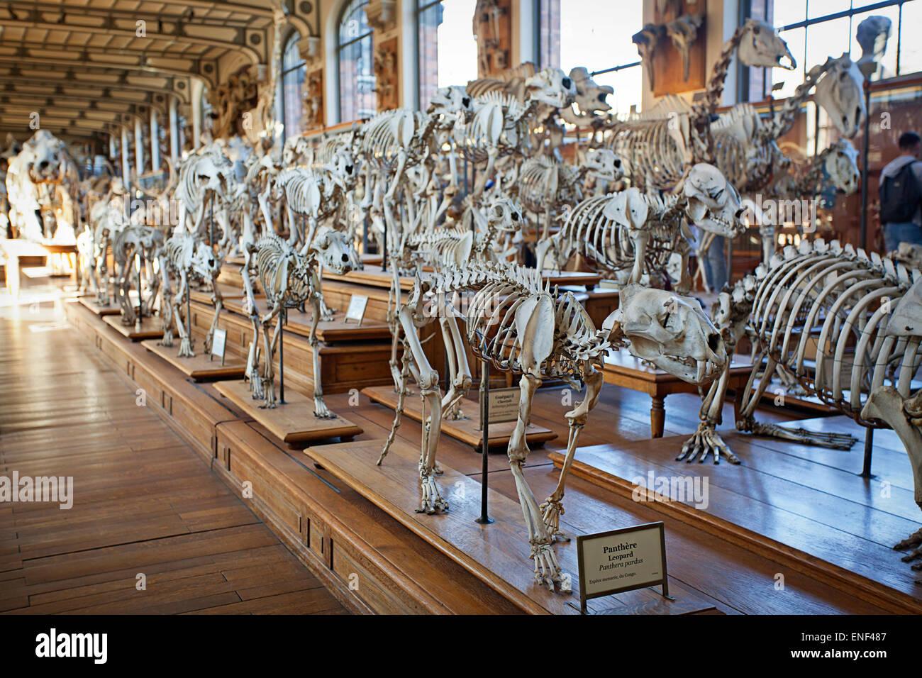 Skeletons - Galeries d'Anatomie comparée et de Paléontologie - Stock Image