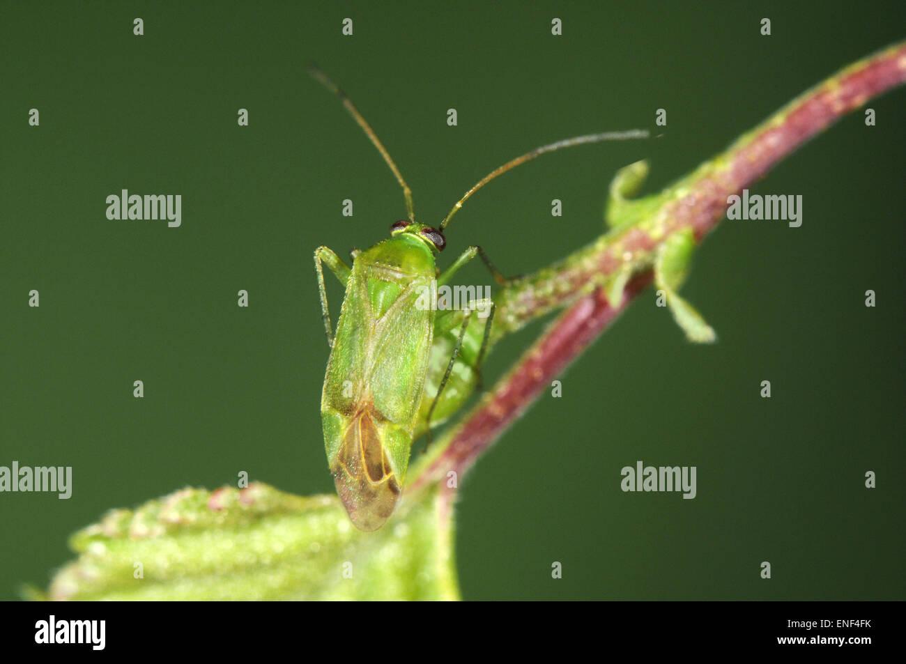 Common Green Capsid - Lygocoris pabulinus - Stock Image