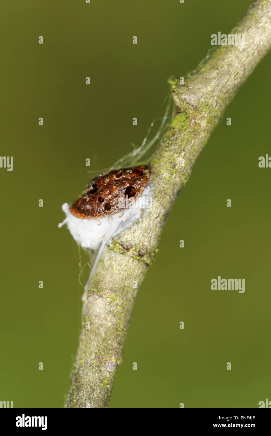 Scale Insect - species unknown - Stock Image