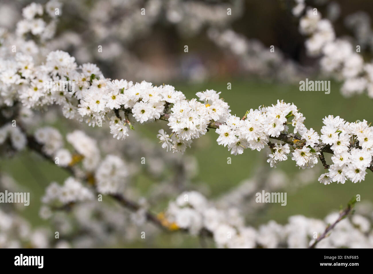 Prunus spinosa 'Plena'. Blackthorn flowers in Spring. Stock Photo
