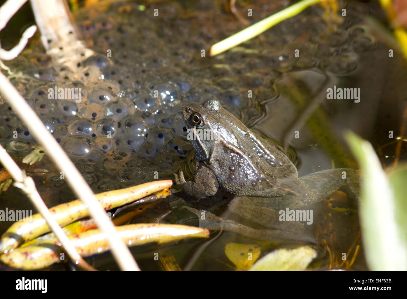 Frog in pond with frogspawn - Stock Image