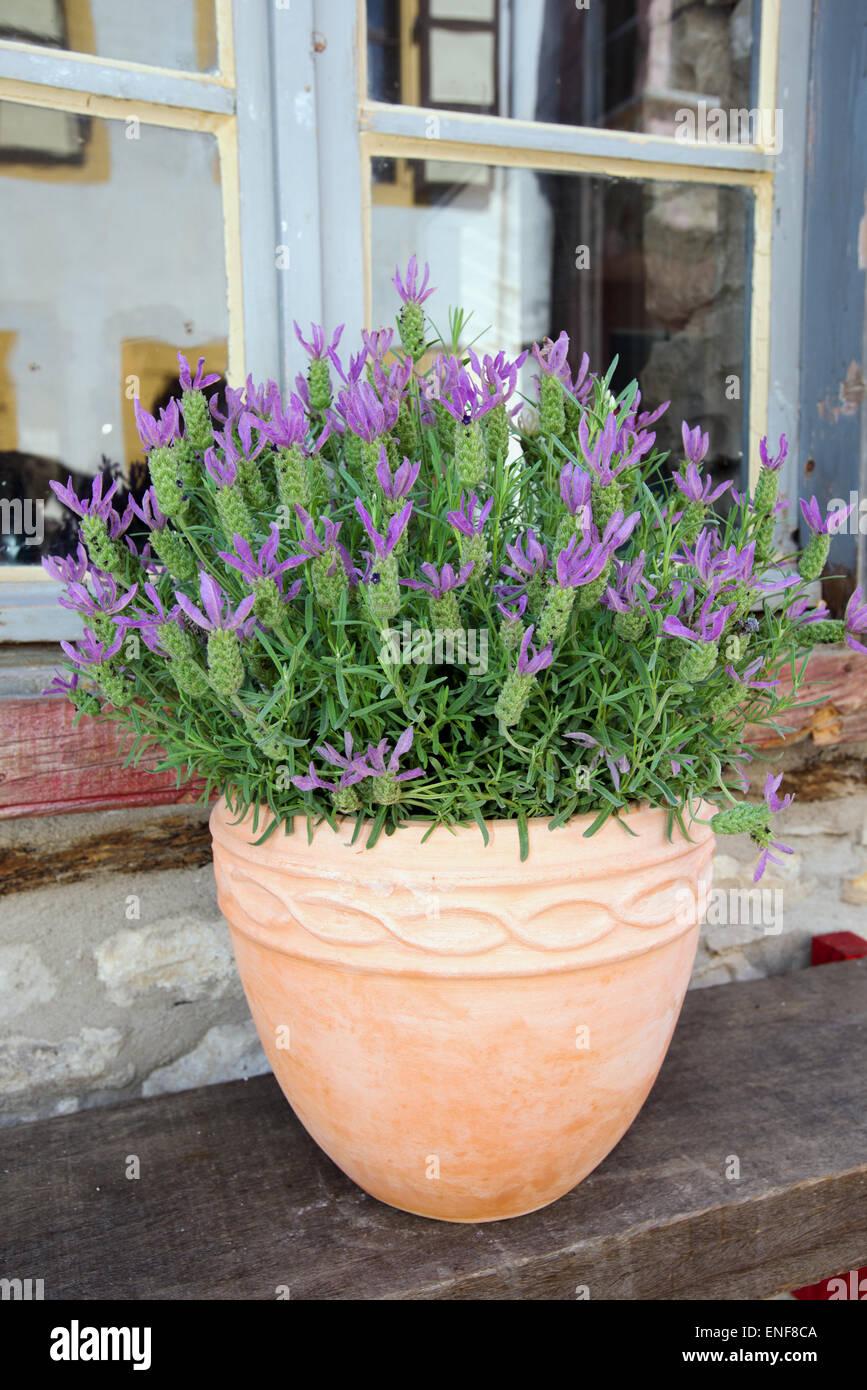 French Lavenders in a pot Urla Izmir Turkey - Stock Image
