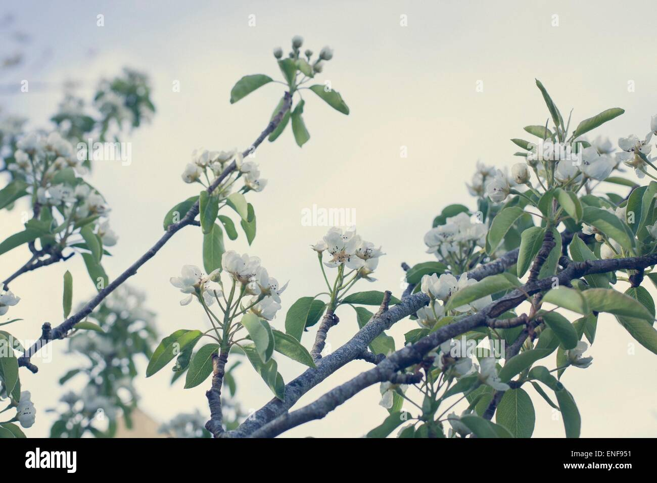 Pear tree blossoms against the sky, vintage tones - Stock Image