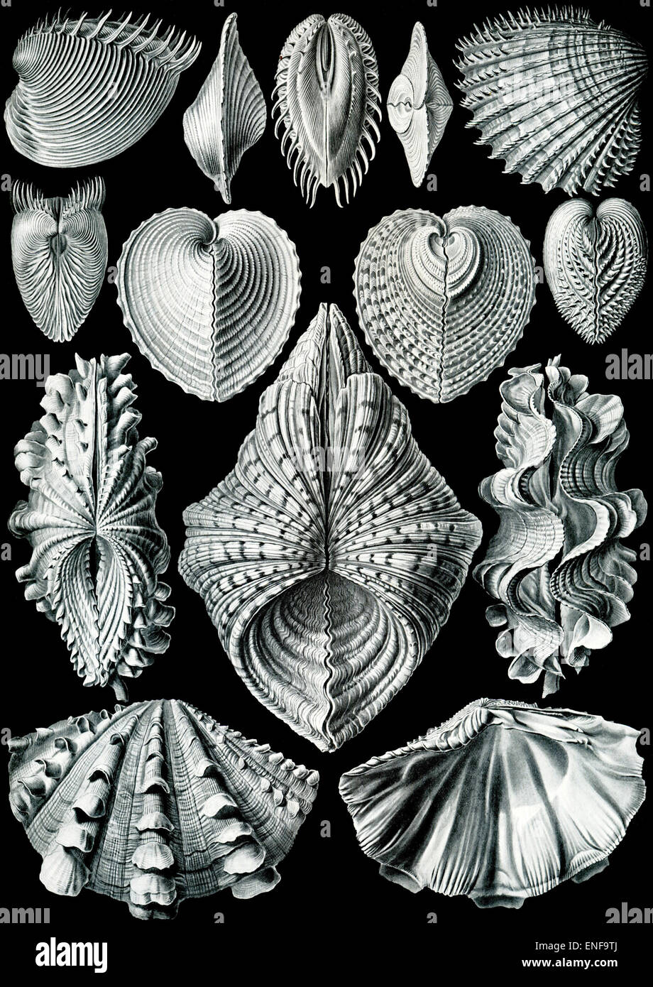 Acephala Bivalvia (Mollusks), by Ernst Haeckel, 1904 - Editorial use only. - Stock Image