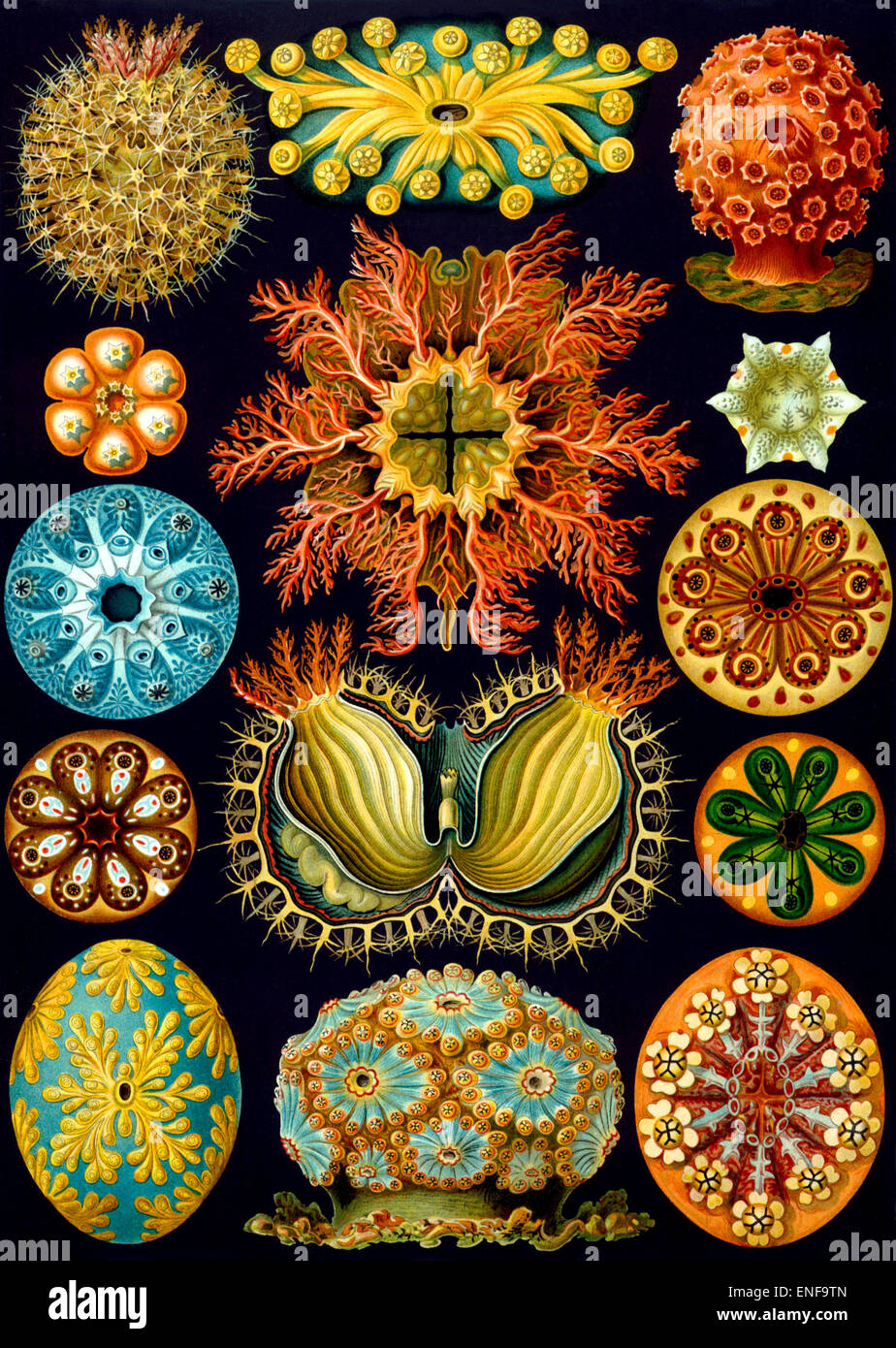 Ascidiacea (Sea Squirts), by Ernst Haeckel, 1904 - Editorial use only. - Stock Image