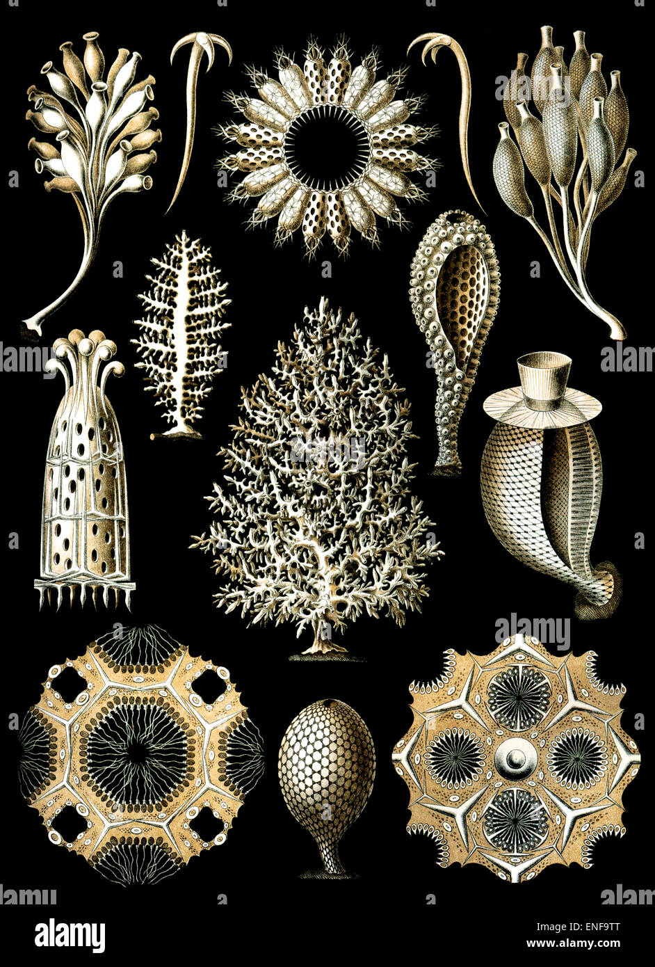 Calcispongiae (Calcareous sponge), by Ernst Haeckel, 1904 - Editorial use only. - Stock Image