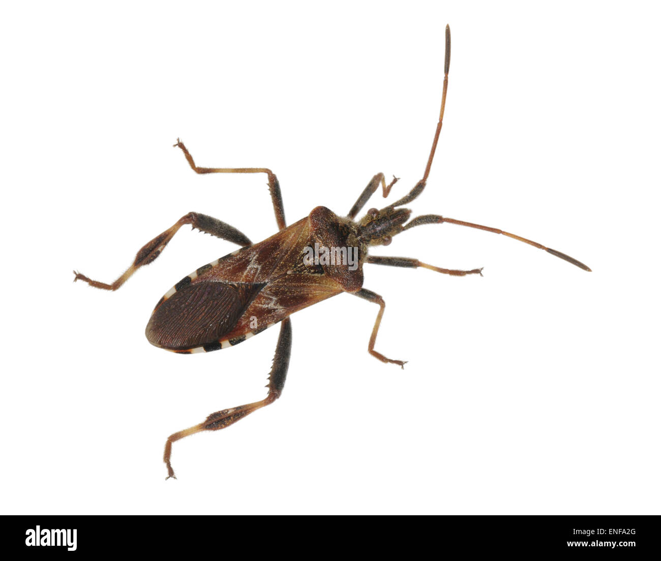 Western Conifer Seed Bug - Leptoglossus occidentalis - Stock Image