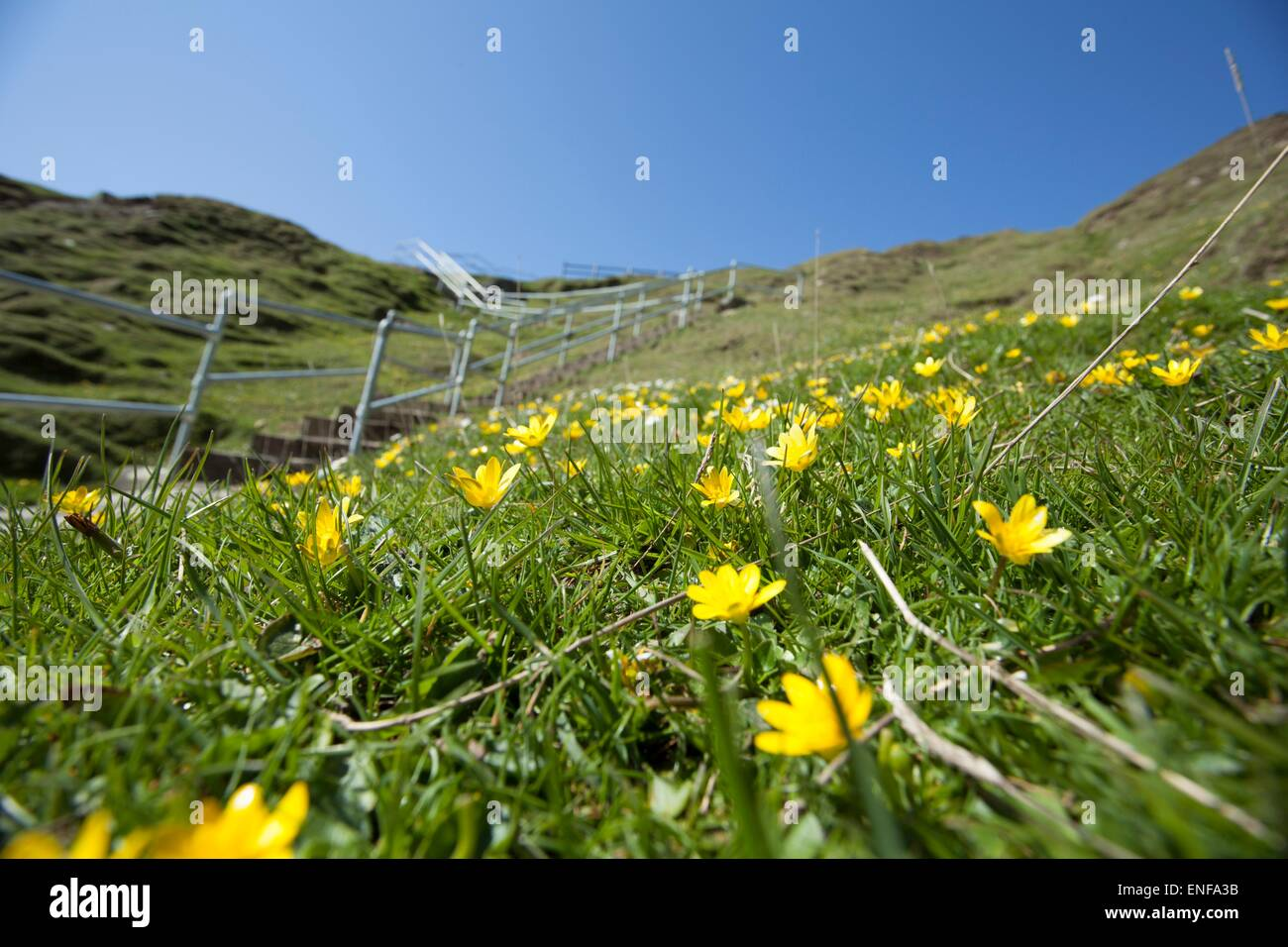Close up of buttercups at the steps to the Silver Strand beach in Glencolmcille, Co. Donegal, Ireland - Stock Image