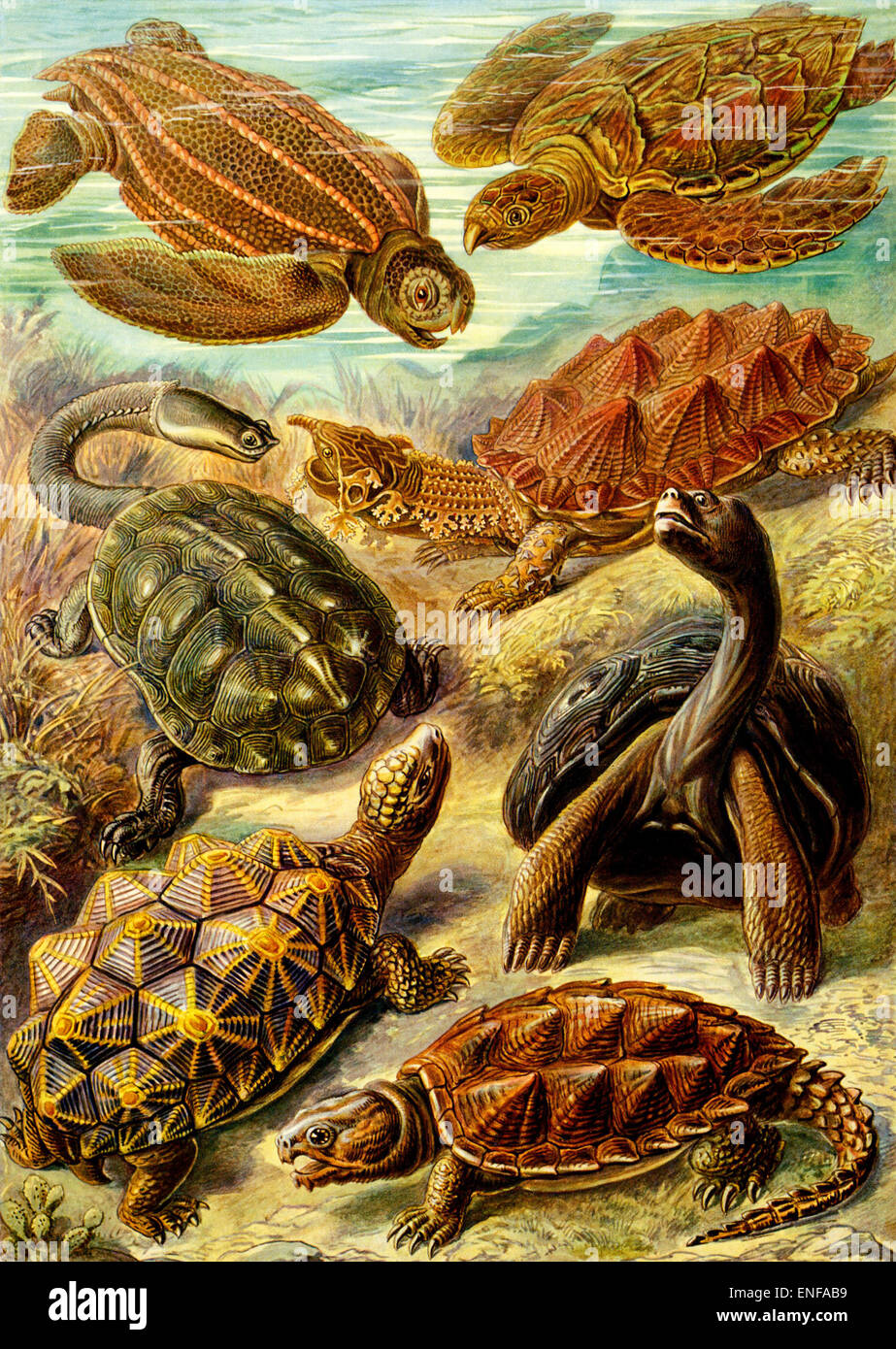 Chelonia (Turtles and Tortoises), by Ernst Haeckel, 1904 - Editorial use only. - Stock Image