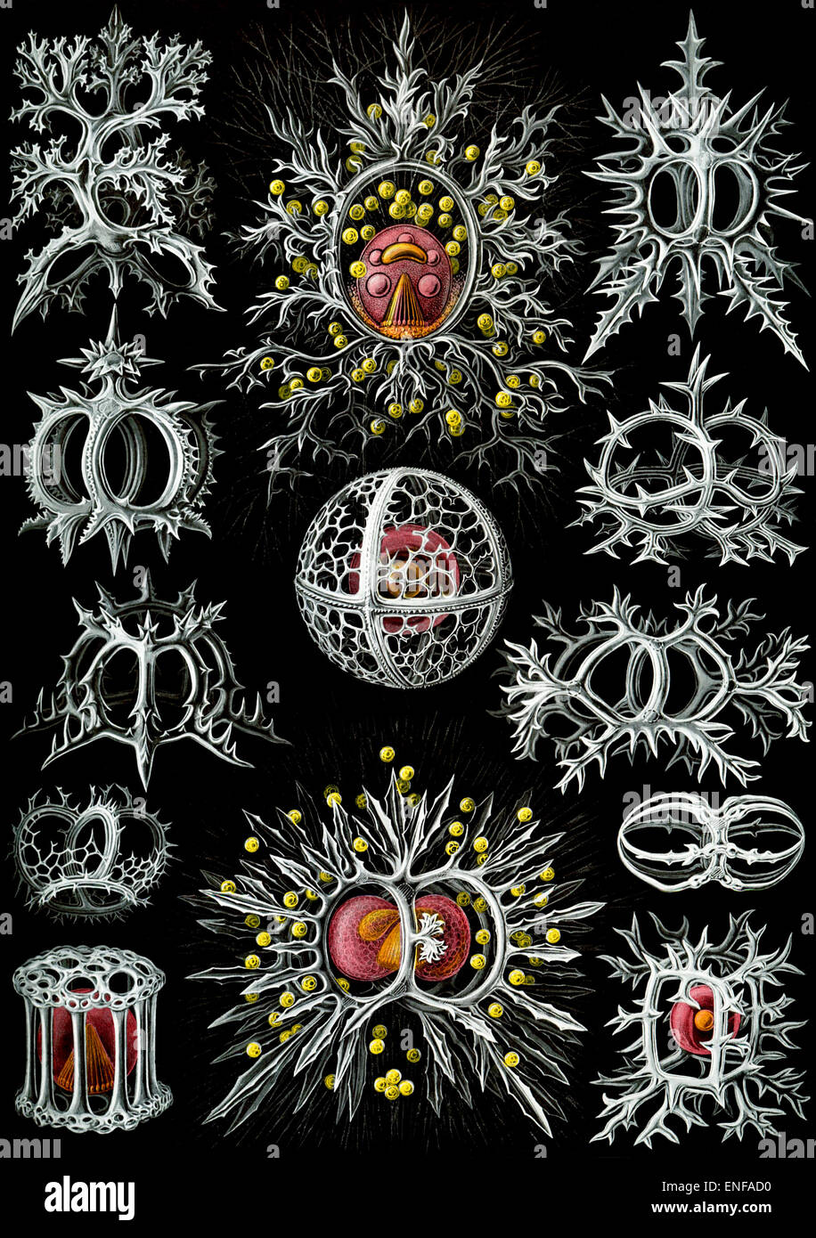 Stephoidea (Zooplankton), by Ernst Haeckel, 1904 - Editorial use only. - Stock Image