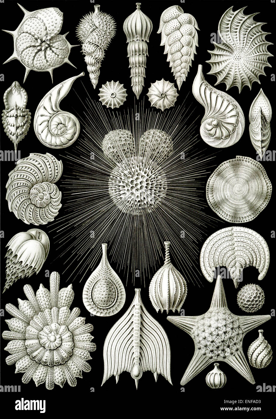 Thalamphora (Marine Plankton), by Ernst Haeckel, 1904 - Editorial use only. Stock Photo