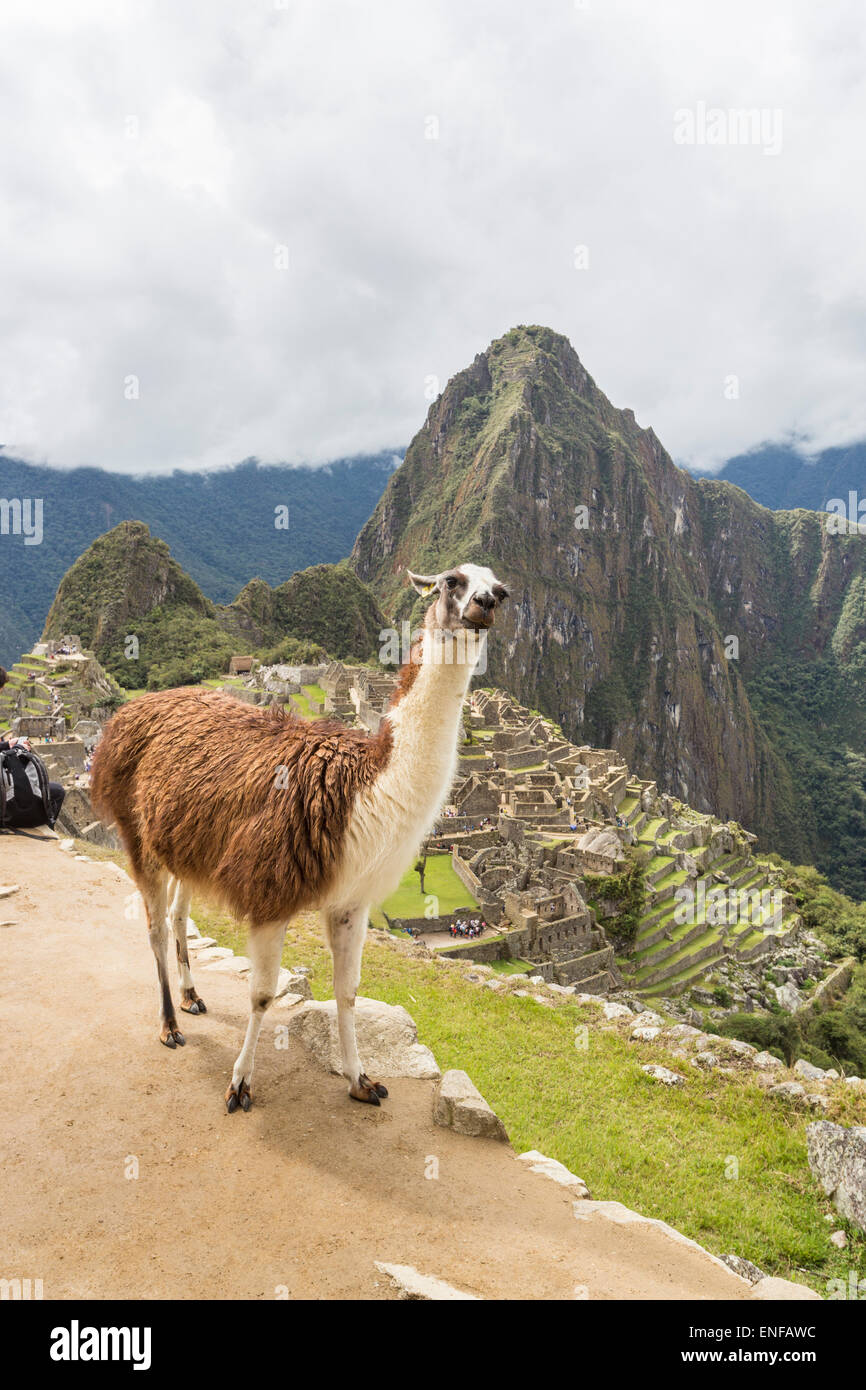 Brown and white llama posing with ruins of Machu Picchu and Huayna Picchu behind - Stock Image