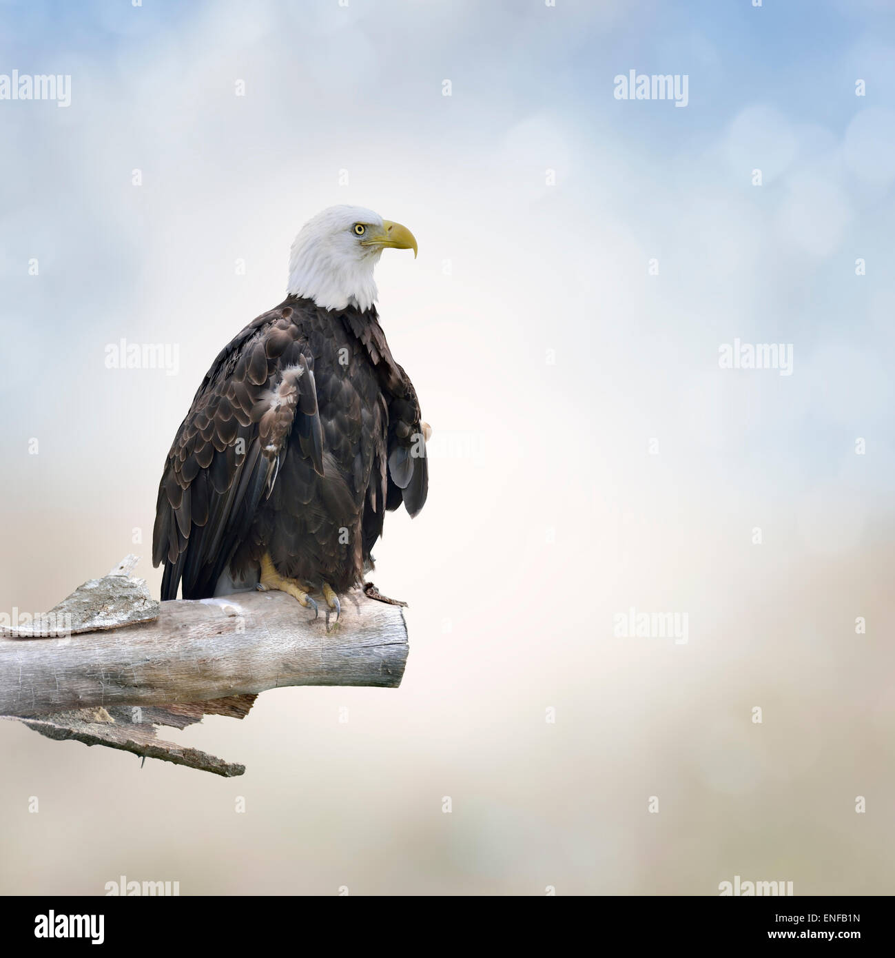 Bald Eagle Perched On A Log - Stock Image