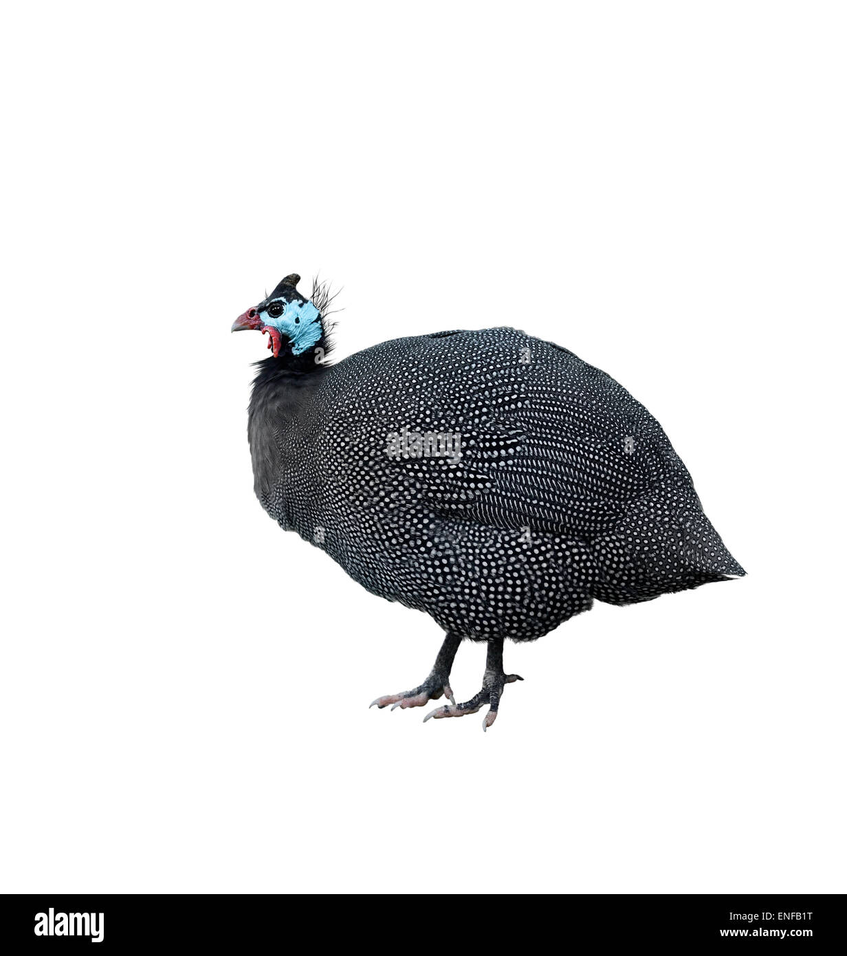 Helmeted Guinea Fowl Isolated On White Background - Stock Image