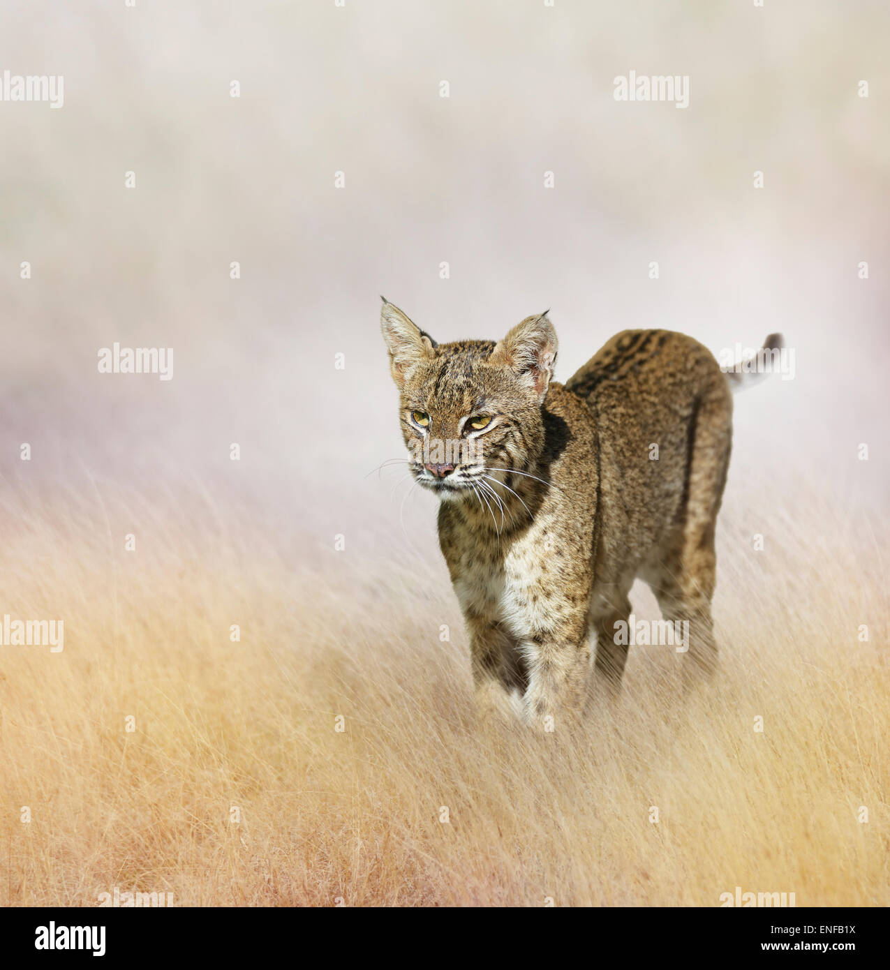 Bobcat Walking In The Grass - Stock Image