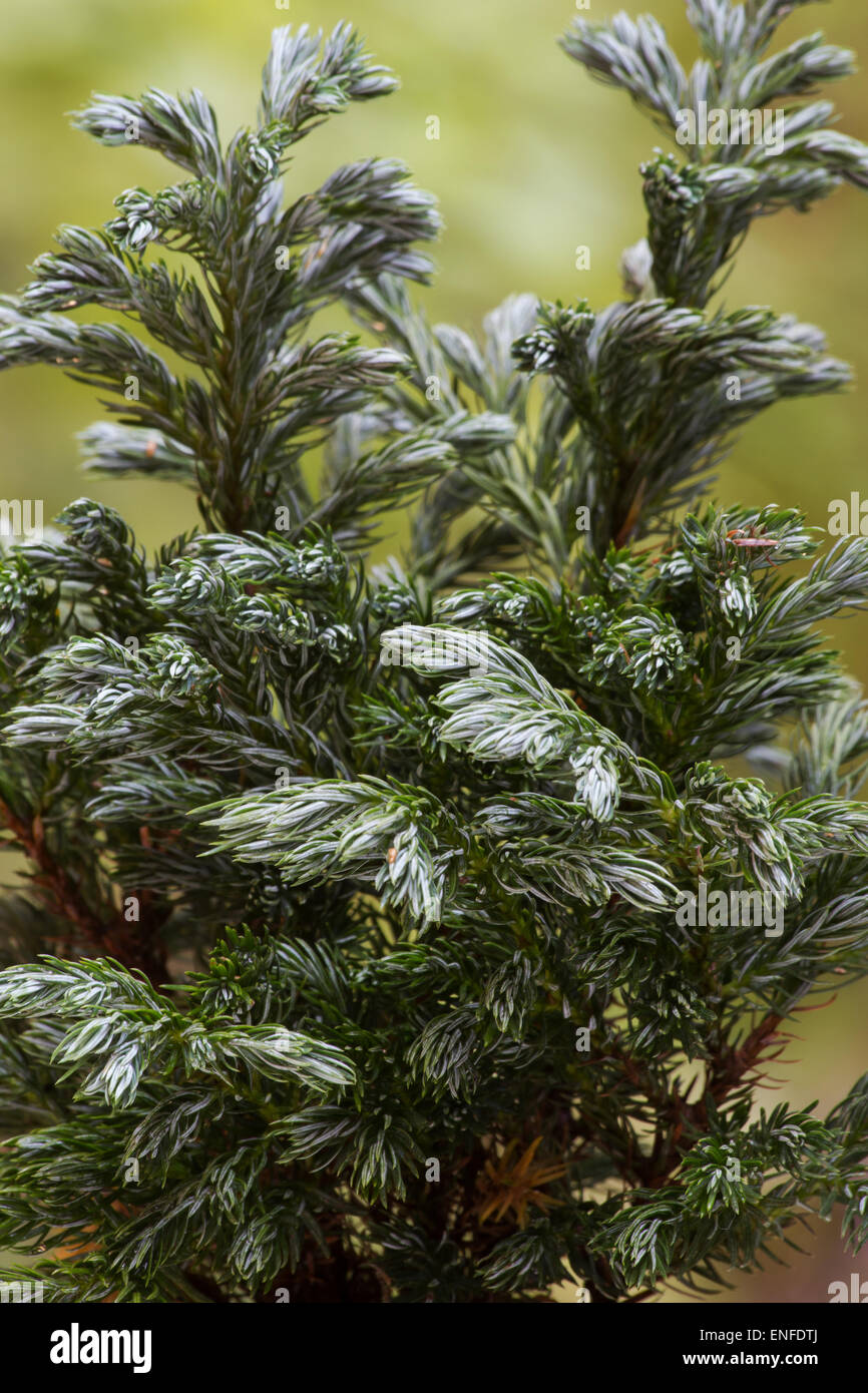 Blue moss cypress (Chamaecyparis pisifera - 'Boulevard' Sawara Cypress) plant tree on natural background - Stock Image