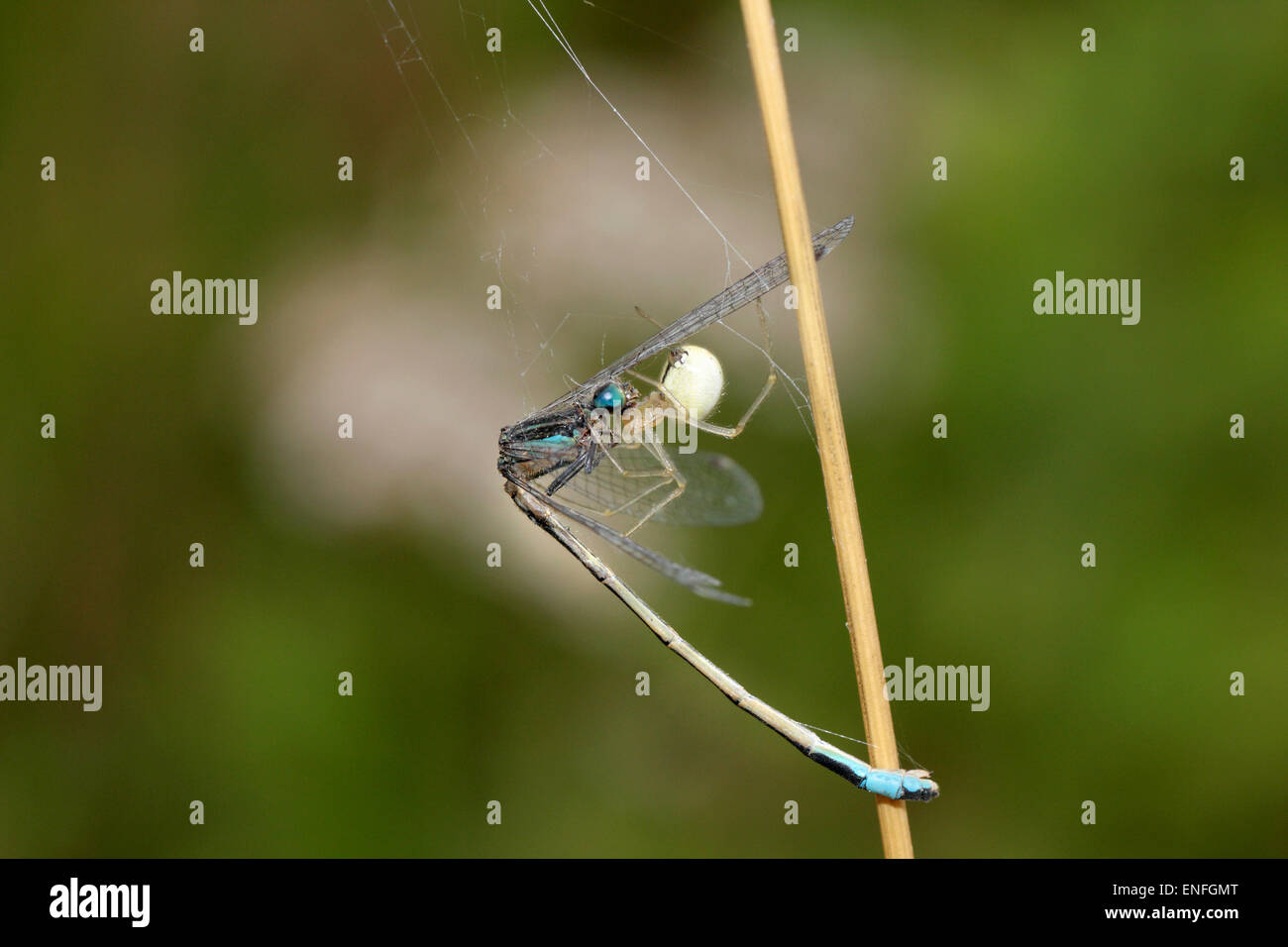 Comb-footed Spider - Enoplognatha ovata - with Damselfly prey. - Stock Image